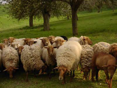 Répertoire des races ovines du Monde Coburg10