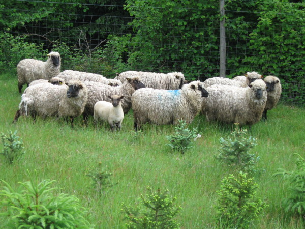 Répertoire des races ovines du Monde Le-mou10