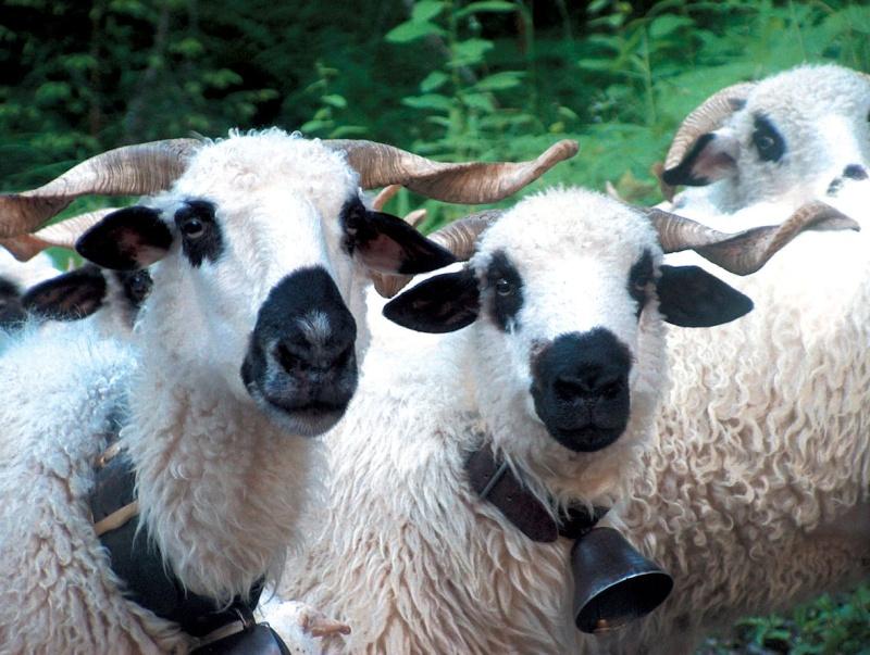 Répertoire des races ovines du Monde Mouton12