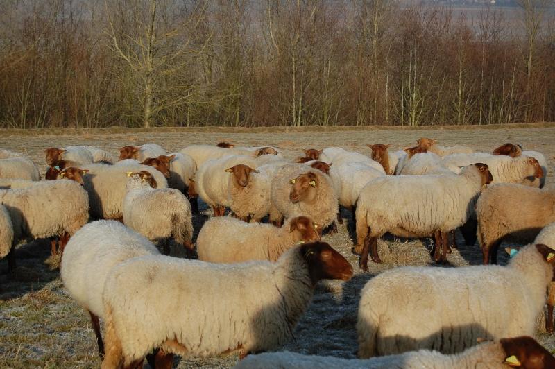 Répertoire des races ovines du Monde Photo_10
