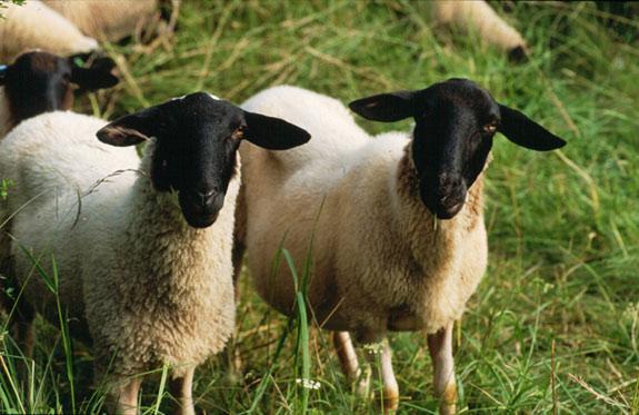 Répertoire des races ovines du Monde Rhoens10