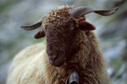 Répertoire des races ovines du Monde Roux_d10