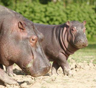 HIPPOPOTAME Hippo10
