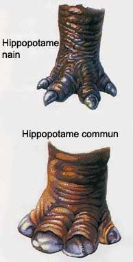 HIPPOPOTAME Hippo_10