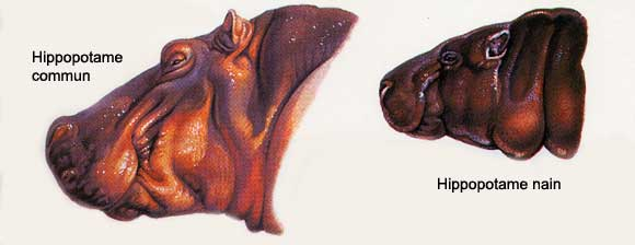 HIPPOPOTAME Hippo_11