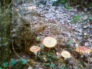 some mushroom ( pas ceux de mario bros ) Sp_a3340