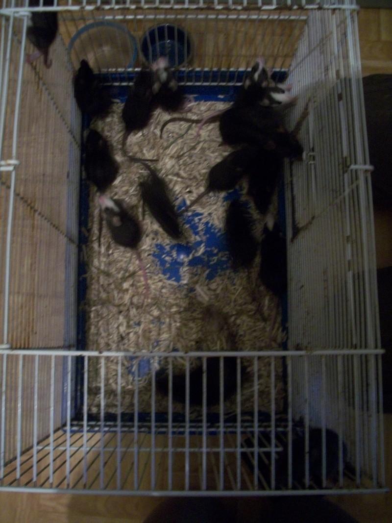 très urgent, 14 ratons (5 M, 9 F) + 3 femelles adultes (Niort) 100_6817