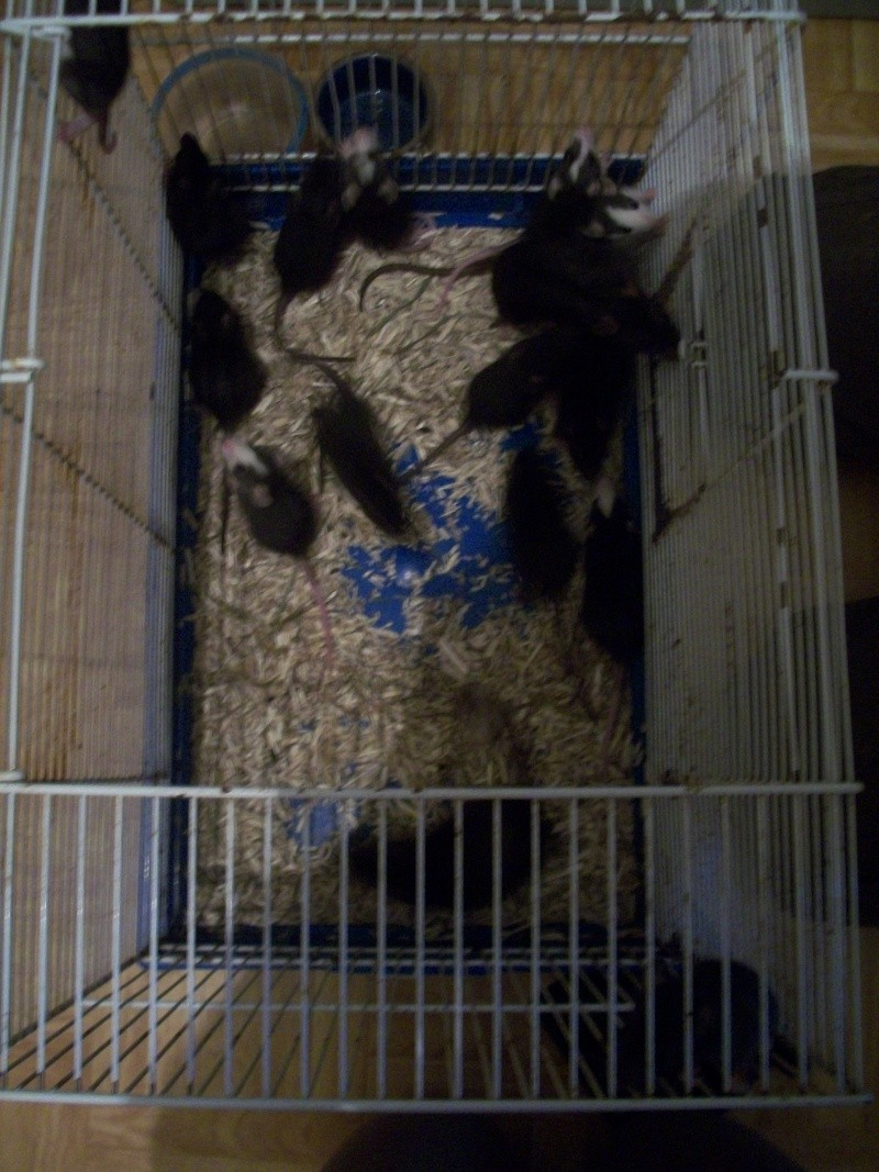 très urgent, 14 ratons (5 M, 9 F) + 3 femelles adultes (Niort) 100_6819