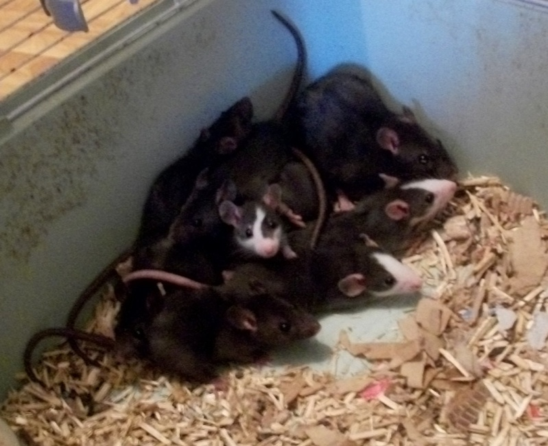 très urgent, 14 ratons (5 M, 9 F) + 3 femelles adultes (Niort) 100_6915