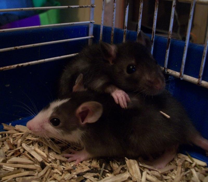 très urgent, 14 ratons (5 M, 9 F) + 3 femelles adultes (Niort) 100_6917