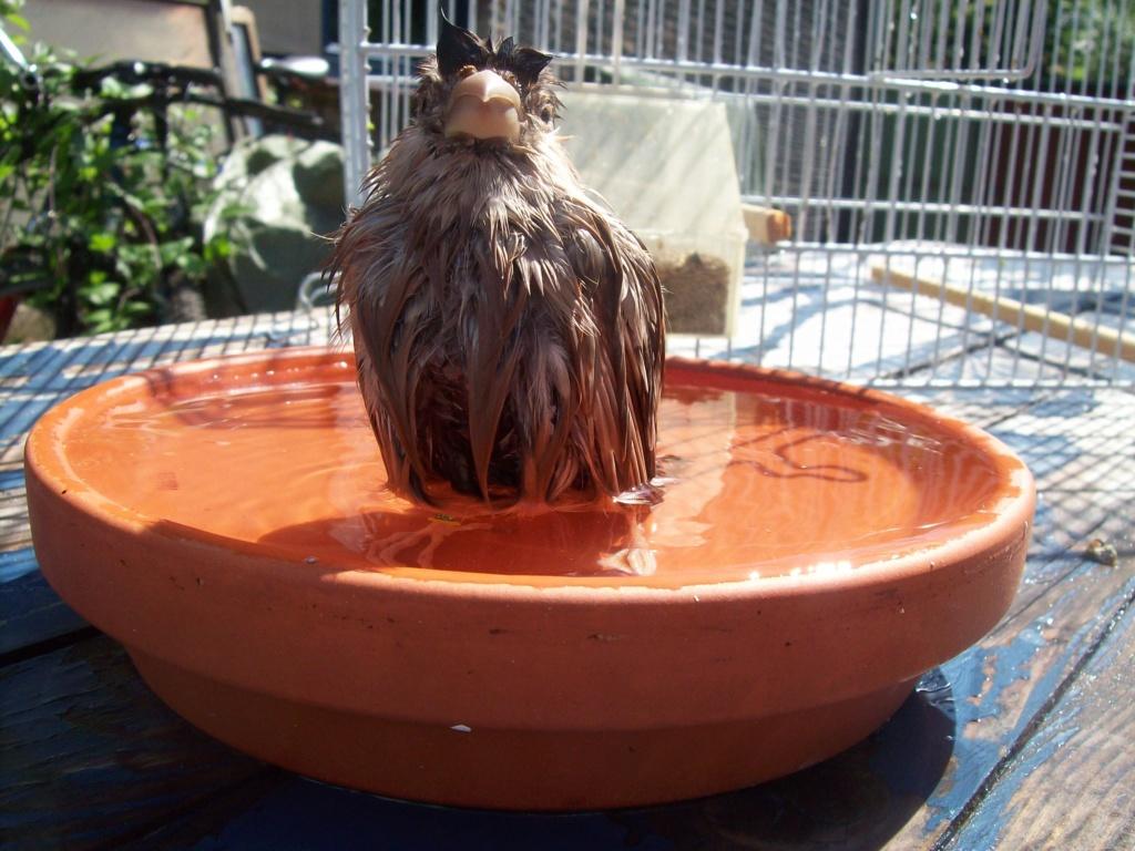 Bouvreuil pas fière en sortant du bain ! Thibau10