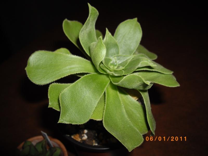 Aeonium gomerense ou Kiwi ? Imgp1810