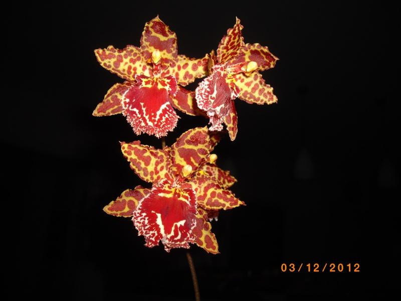 Mes orchidées... par Stape73 - Page 3 Imgp4614