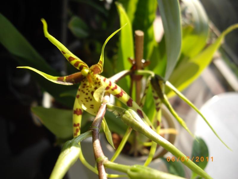 mes orchidées Imgp5013
