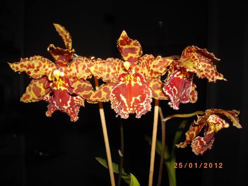 Mes orchidées... par Stape73 - Page 3 Imgp9114
