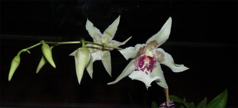 Mes orchidées... par Stape73 P1040224