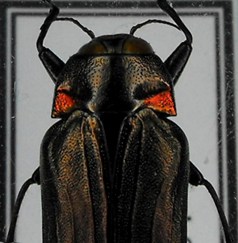 [Belionota prasina] Belionota Sp. fulgidicollis 3x_bel12