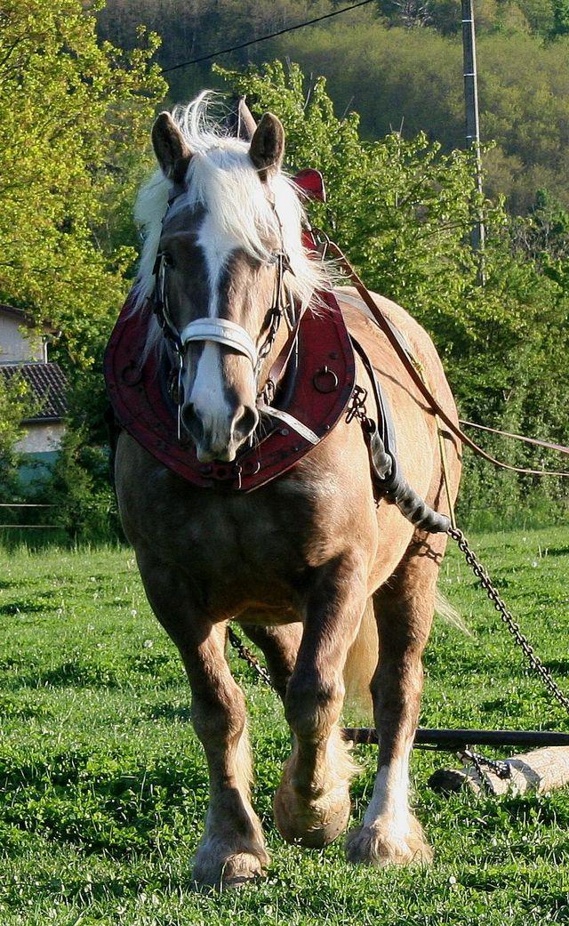 Thème de Janvier : le cheval au travail Akiro108