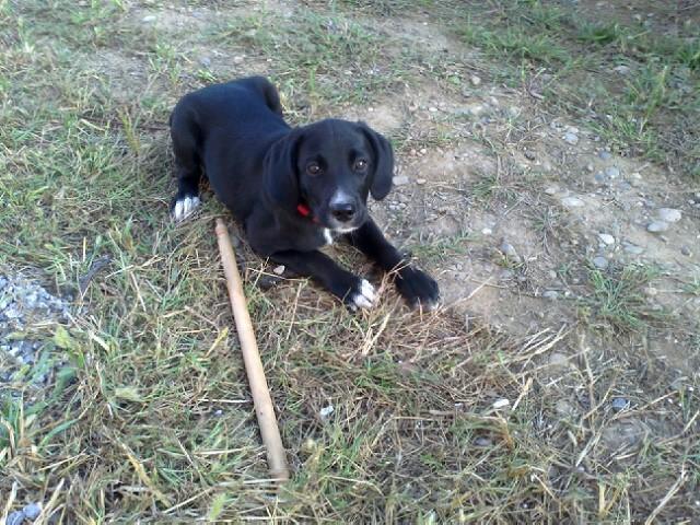 Gino, labrador noir 11 m TJS RECHERCHE , DISPARU le 30/01/2012  a LAHONTAN  dep 64 Glop310