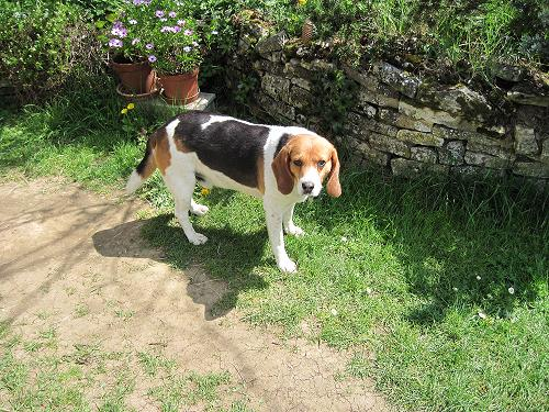 URDON, beagle mâle, 4 ans (79) Img_0611