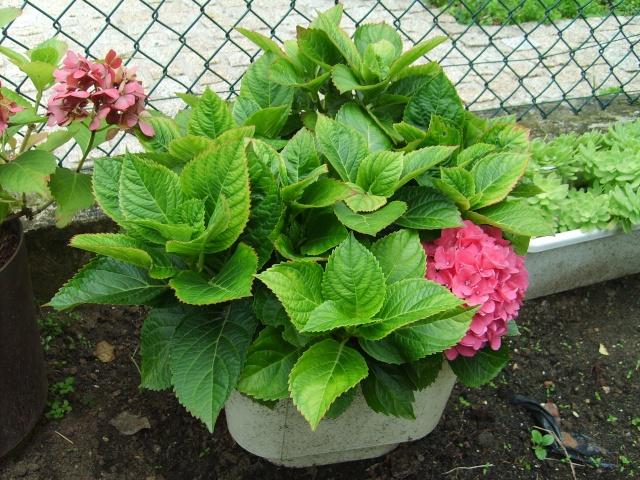 Hydrangea   Hortensia des jardins - Page 4 S5000810