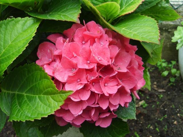 Hydrangea   Hortensia des jardins - Page 4 S5000811