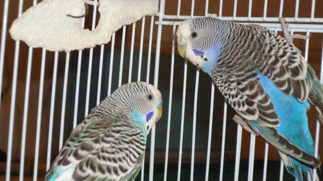 Mon couple de perruche Dsc01436