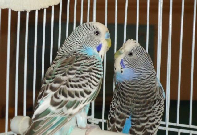Mon couple de perruche Dsc01437