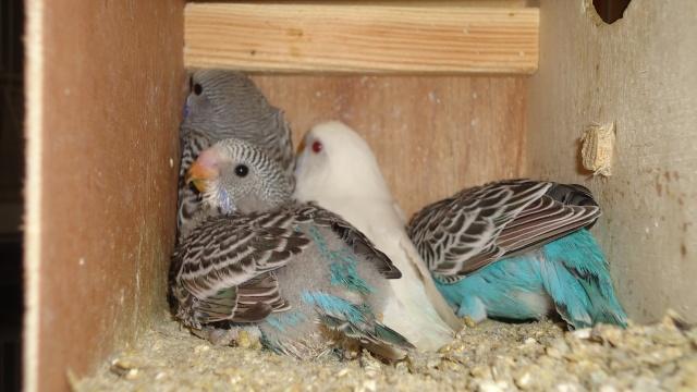 Mon couple de perruche Dsc01438