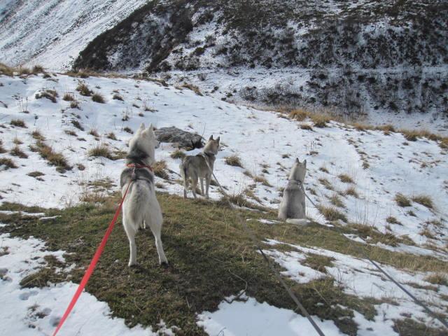 Deux huskies poursuivent deux bouquetins... 1210