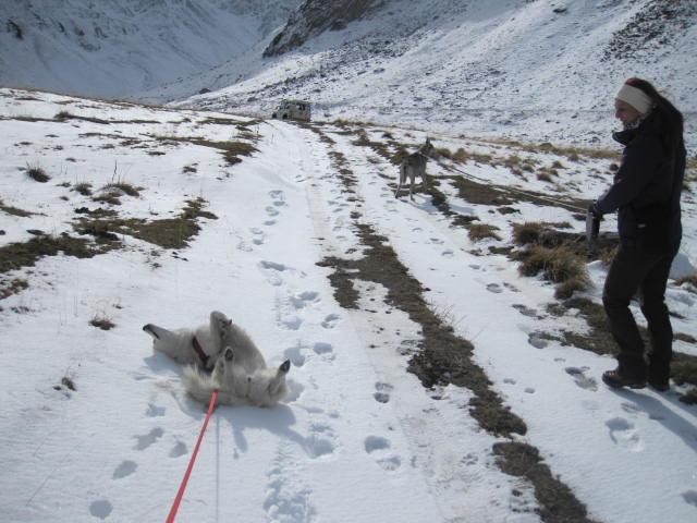 Deux huskies poursuivent deux bouquetins... 2010