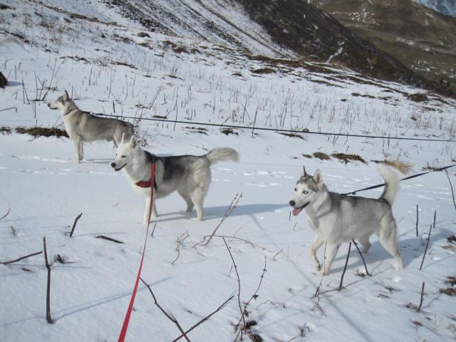 Deux huskies poursuivent deux bouquetins... 2110