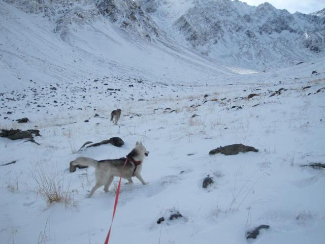 Deux huskies poursuivent deux bouquetins... 2810