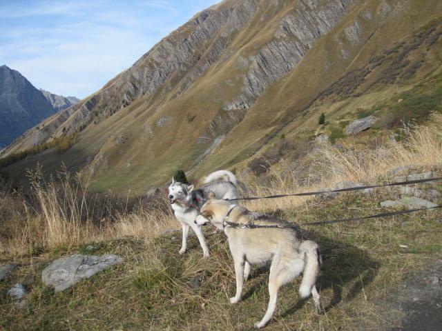 Deux huskies poursuivent deux bouquetins... 7210