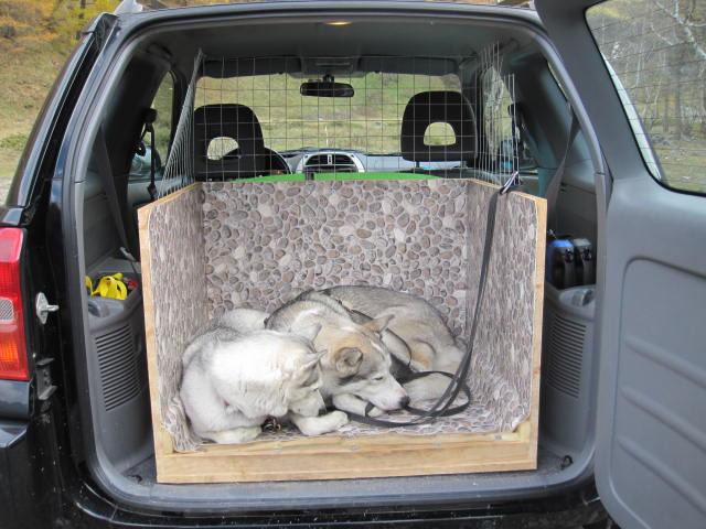 Deux huskies poursuivent deux bouquetins... 7710