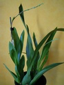 Odontoglossum cambria (ou Vuylstekeara) Dscn0811