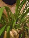 cymbidium floraison avortée ? Dscn1116