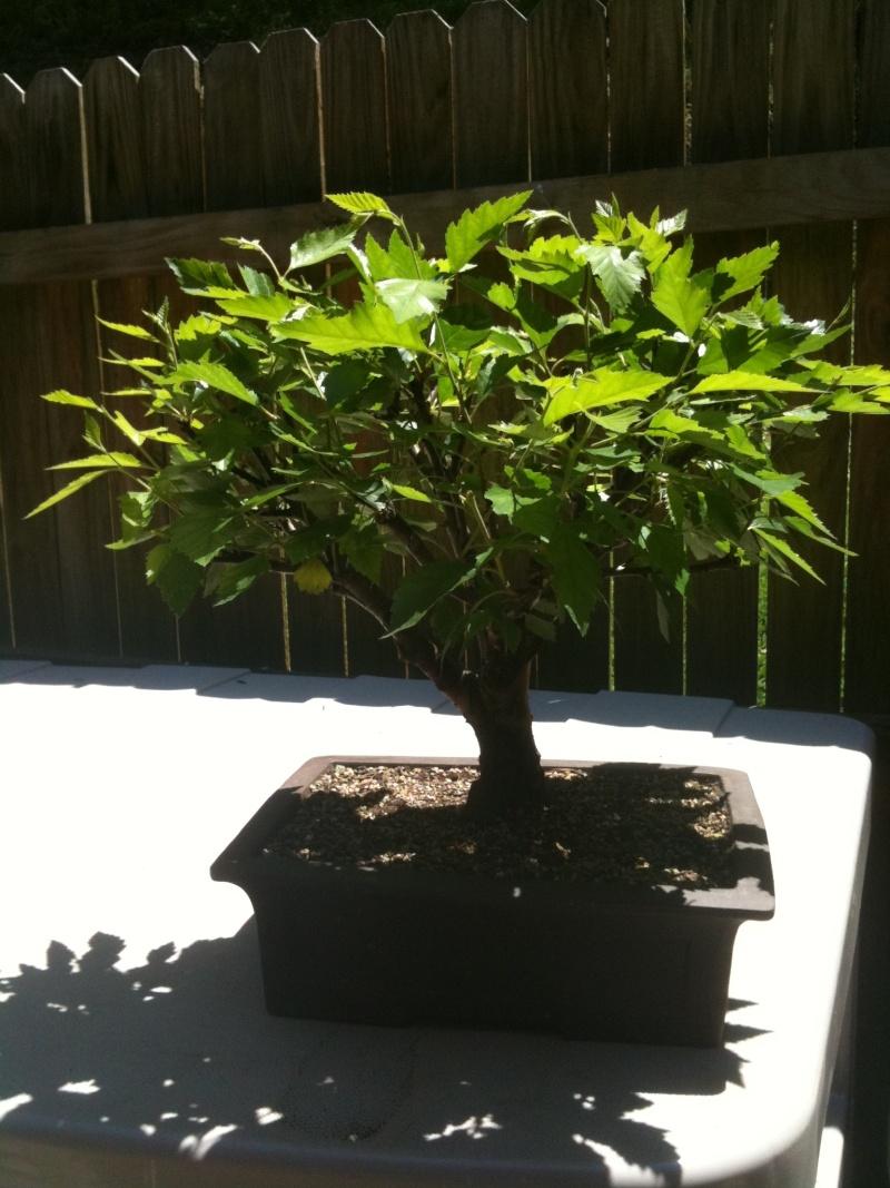 Birch Bonsai Back_b10