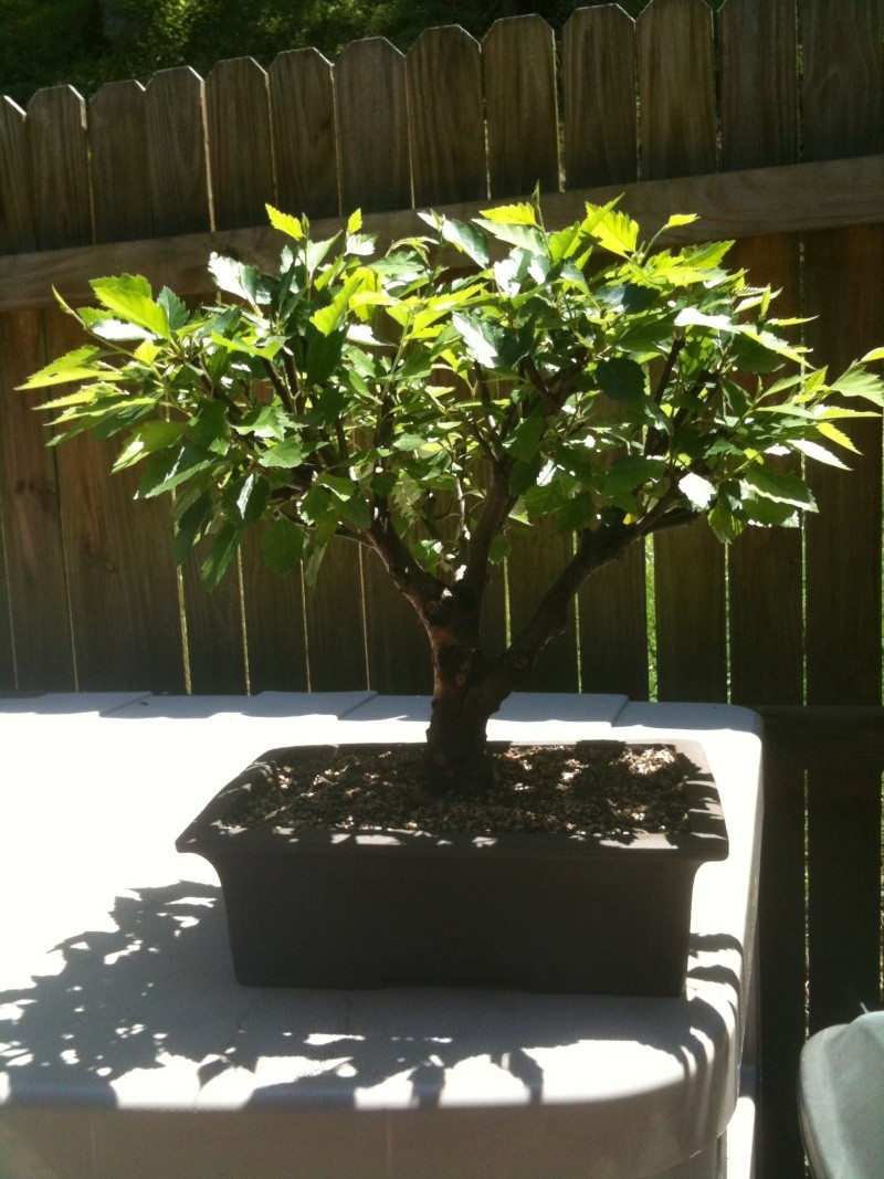 Birch Bonsai Front_10