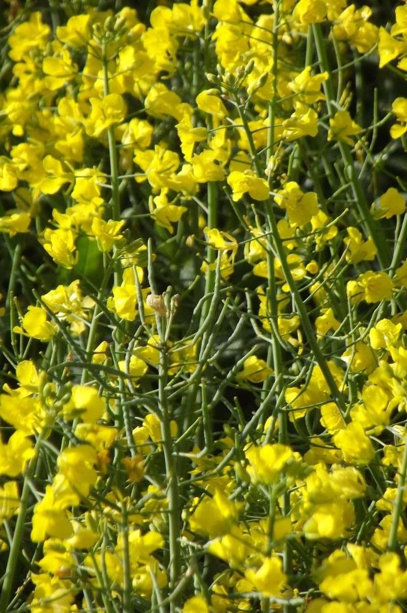 floraison du colza  Semis_11