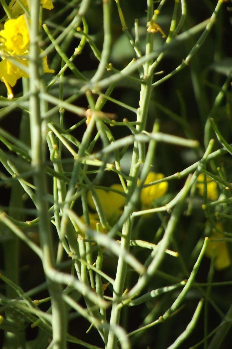 floraison du colza  Semis_12