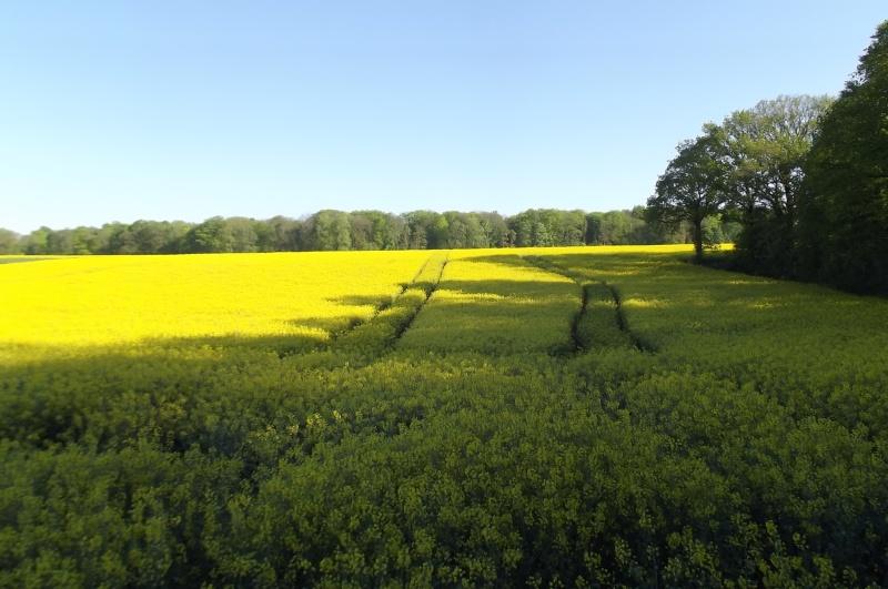 floraison du colza  Semis_14