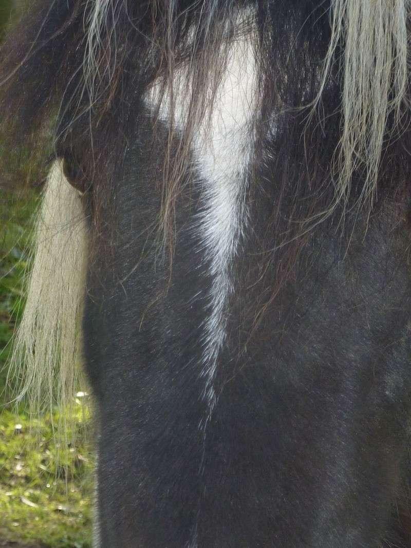 Jivana de l'Espoirs, Welsh baie et Betty Boop pouliche pie noire - Page 11 P1050213