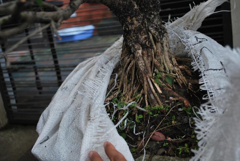 Mangrove bonsai Dsc_0311