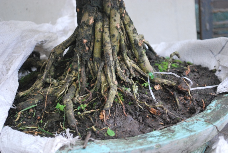 Mangrove bonsai Dsc_0312
