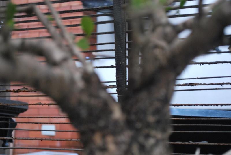 Mangrove bonsai Dsc_0313