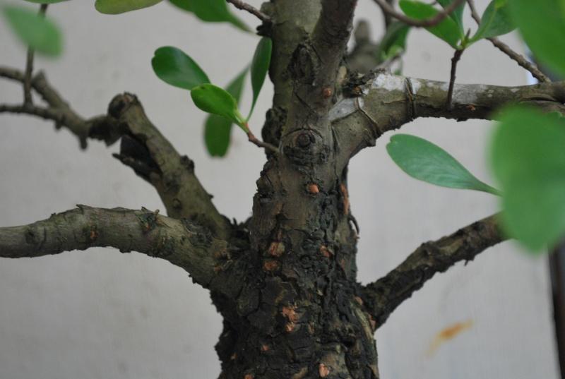 Mangrove bonsai Dsc_0314