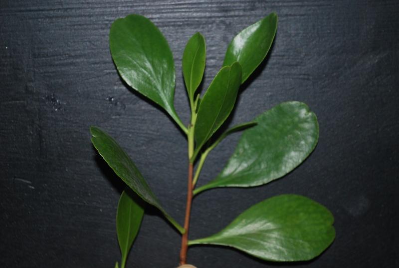 Mangrove bonsai Dsc_0315