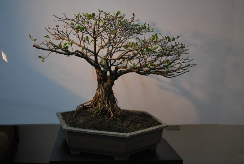 Mangrove bonsai Dsc_0316