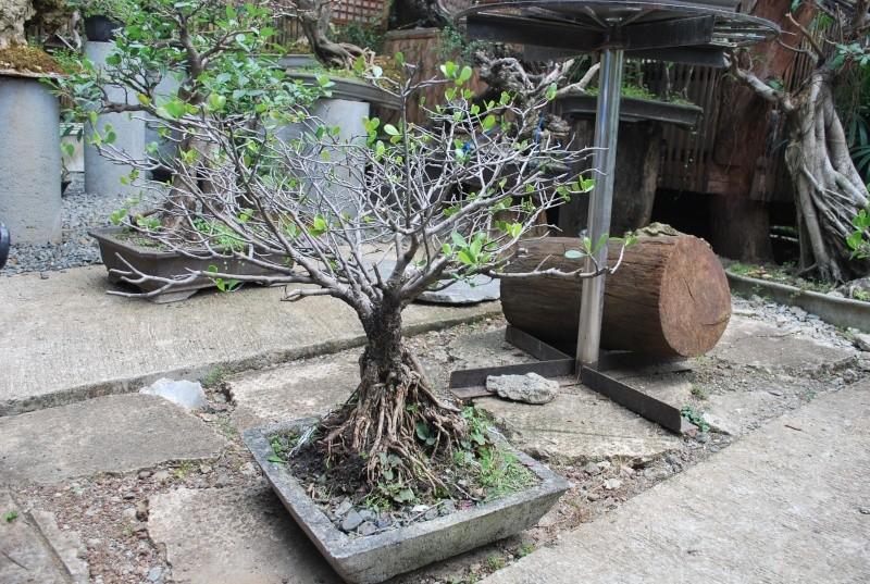 Mangrove bonsai Dsc_0317